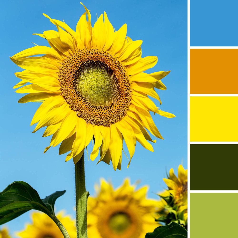 Kleur in design - zonnebloem kleurenschema